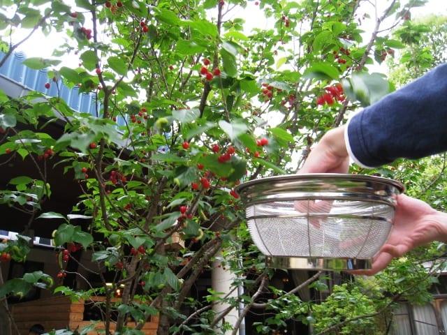 Cherry20125